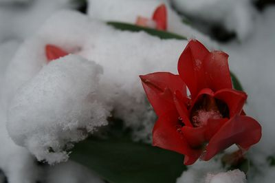 Snow and Flower photo by wordcat57 (flickr)