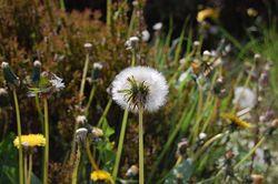 Dandelion by Hyperhaus (flickr)