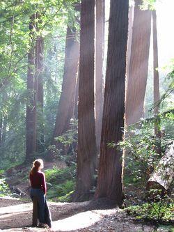 Redwoods by moregenlandfahrer (flickr)